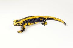 Feuersalamander, Salamandra Stockfotografie