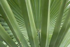 Feuillage abstrait et fanlike des palmettos en Floride Images libres de droits