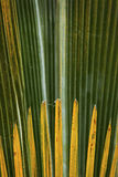 Feuillage abstrait et fanlike des palmettos en Floride Photo stock