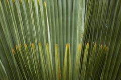 Feuillage abstrait et fanlike des palmettos en Floride Images stock