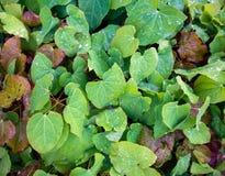 Feuillage coloré de barrenwort rouge, rubrum de l'Epimedium X au printemps photos libres de droits