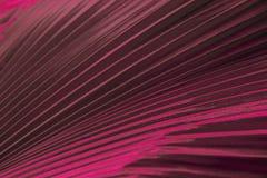Feuillage coloré ornemental, paume tropicale de feuille de couleur rouge de dak Texture naturelle abstraite de modèle, géométriqu photographie stock