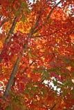 Feuillage d'érable rouge Photos stock
