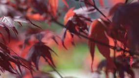 Feuillage d'arbre d'?rable rouge sous le fond de lumi?re du soleil Arbre rouge de coucher du soleil banque de vidéos
