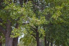 Feuillage d'aulne noir Photo libre de droits