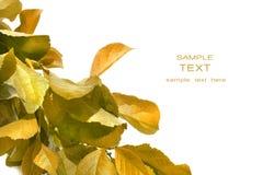 Feuillage d'automne contre le blanc Photographie stock