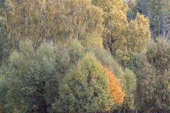 Feuillage d'automne des jaunes et des rouges pendant l'automne dans les pierres de Cairngorm NP, Ecosse photos stock
