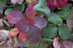 Feuillage d'automne rouge et vert Photographie stock libre de droits