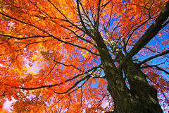 Feuillage d'érable en automne, Canada Photo stock