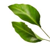 Feuillage de Calathea, feuille tropicale exotique, grande feuille verte, d'isolement sur le fond blanc images libres de droits