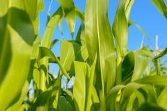 Feuillage de feuilles de champ de maïs grand sur le fond de ciel bleu Photo libre de droits