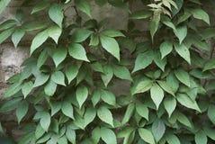 Feuillage de quinquefolia de Parthenocissus photo stock