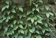 Feuillage de quinquefolia de Parthenocissus images stock