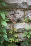 Feuillage de quinquefolia de Parthenocissus image libre de droits
