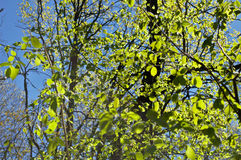 Feuillage de ressort au soleil Photo libre de droits