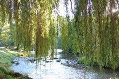 Feuillage de saule pleurant avec la rivière de l'Aude à l'arrière-plan images libres de droits