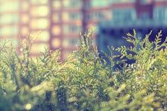 Feuillage de Thuja à la lumière du soleil Images stock