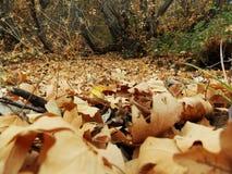 Feuillage des arbres d'érable pendant l'automne Photos libres de droits