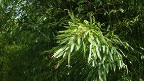 Feuillage en bambou de ressort de genre de Phyllostachys balançant en vent modéré, 4K banque de vidéos