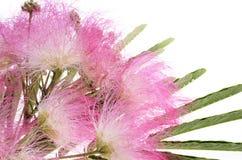 Feuillage et fleurs de julibrissin d'Albizia de mimosa Photo stock