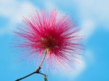 Feuillage et fleurs de julibrissin d'Albizia de mimosa d'isolement sur le fond foncé Image libre de droits