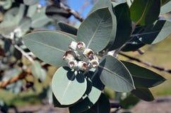 Feuillage et fruit indigènes australiens de pleurocarpa d'eucalyptus Images stock