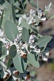 Feuillage et fruit indigènes australiens de pleurocarpa d'eucalyptus Photos libres de droits