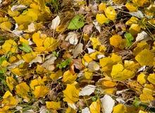 Feuillage jaune d'automne Image libre de droits