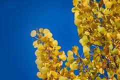 Feuillage jaune d'automne Feuilles d'Aspen comme des pièces d'or photographie stock libre de droits
