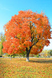 Feuillage jaune d'automne sur l'arbre image libre de droits