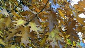 Feuillage jaune ou orange lumineux sur une branche d'un arbre d'automne clips vidéos