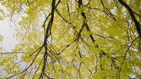Feuillage jauni sur des branches d'arbre sur un fond de ciel nuageux d'automne banque de vidéos