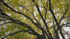 Feuillage jauni sur les branches du vieil arbre dans la forêt banque de vidéos
