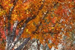 Feuillage lumineux d'automne Photos libres de droits
