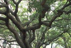 Feuillage puissant de vert de chêne de couronne photo stock