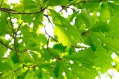 Feuillage riche de chêne Photos libres de droits