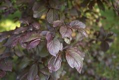 Feuillage rougeâtre d'arbre de nigra de cerasifera de Prunus photos stock