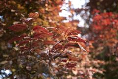 Feuillage rougeâtre d'arbre de nigra de cerasifera de Prunus photo libre de droits