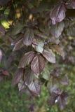 Feuillage rougeâtre d'arbre de nigra de cerasifera de Prunus images libres de droits