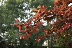 Feuillage rougeâtre d'arbre de nigra de cerasifera de Prunus image stock