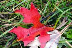 Feuillage rouge Photo libre de droits