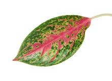 Feuillage rouge d'aglaonema, feuilles vertes avec les veines roses lumineuses, feuille tropicale exotique, d'isolement sur le fon image stock