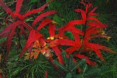 Feuillage rouge de NOËL et vert naturel en Alaska photographie stock