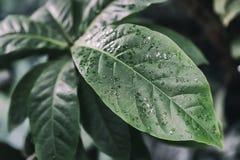 Feuillage tropical d'usine de decorativ, macro photo de feuille fraîche, modèle naturel, fond botanique exotique Images stock