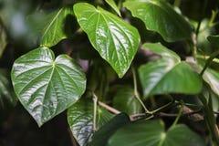 Feuillage tropical d'usine de decorativ, macro photo de feuille de vert vif, modèle naturel, fond botanique exotique Image stock