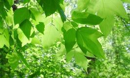 Feuillage vert Images libres de droits