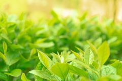 Feuillage vert avec un jour ensoleill? Orientation molle photos stock