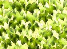 Feuillage vert de lierre décoratif Image stock