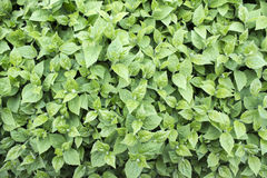 Feuillage vert de ressort Photos stock