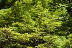 Feuillage vert frais Photo libre de droits